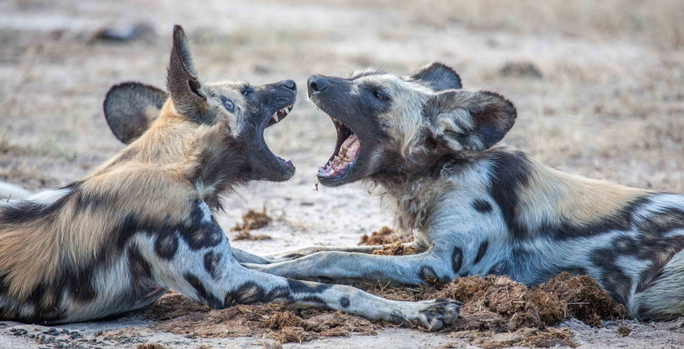 Wild Dogs Playing 2