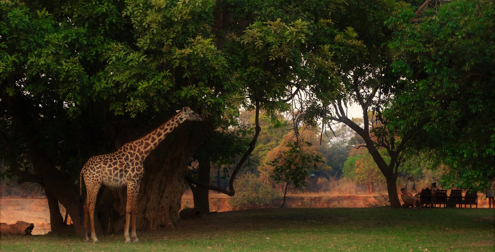 Giraffe in the Lodge