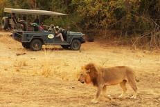 lion and vehicle.JPG