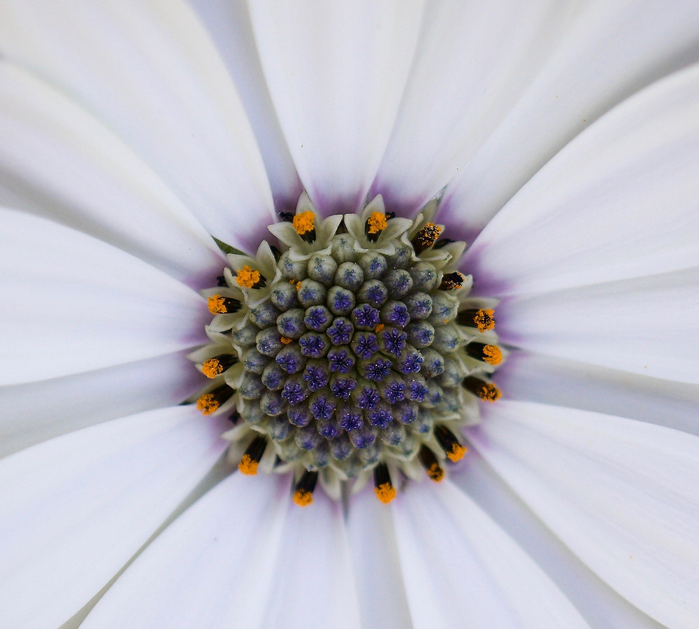 Very centre of an osteospermum flower.
