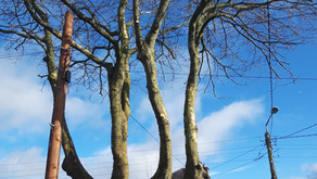 Tree Pruning on Castleknock Road