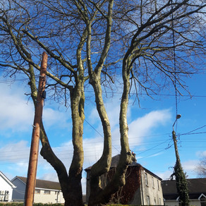 Tree Pruning on Castleknock Road