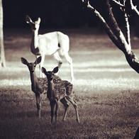 Baby deer 🦌  #deer #babydeer #fawn #bnw