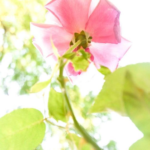 A rose is a rose is a rose is a rose.jpg
