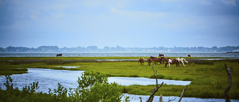 Wild horses of Assateague Island in Mary