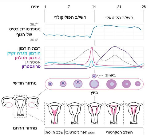 menstrualcycle_edited.jpg