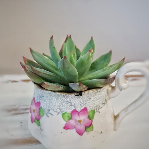 Tea Cup Succulents