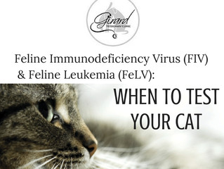 Feline Leukemia (FeLV) and Feline Immunodeficiency Virus (FIV): When should your cat be tested?