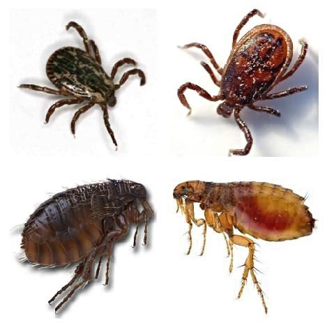 fleas ticks in pets