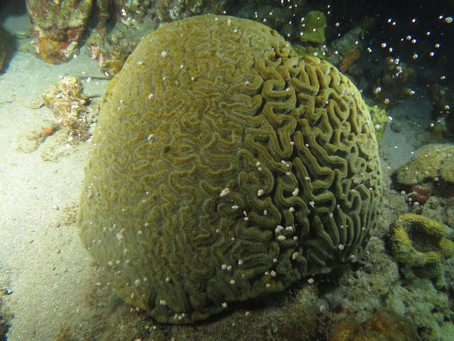 Caribbean coral spawning : A feature for DIVER magazine