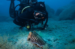 African Cuttlefish