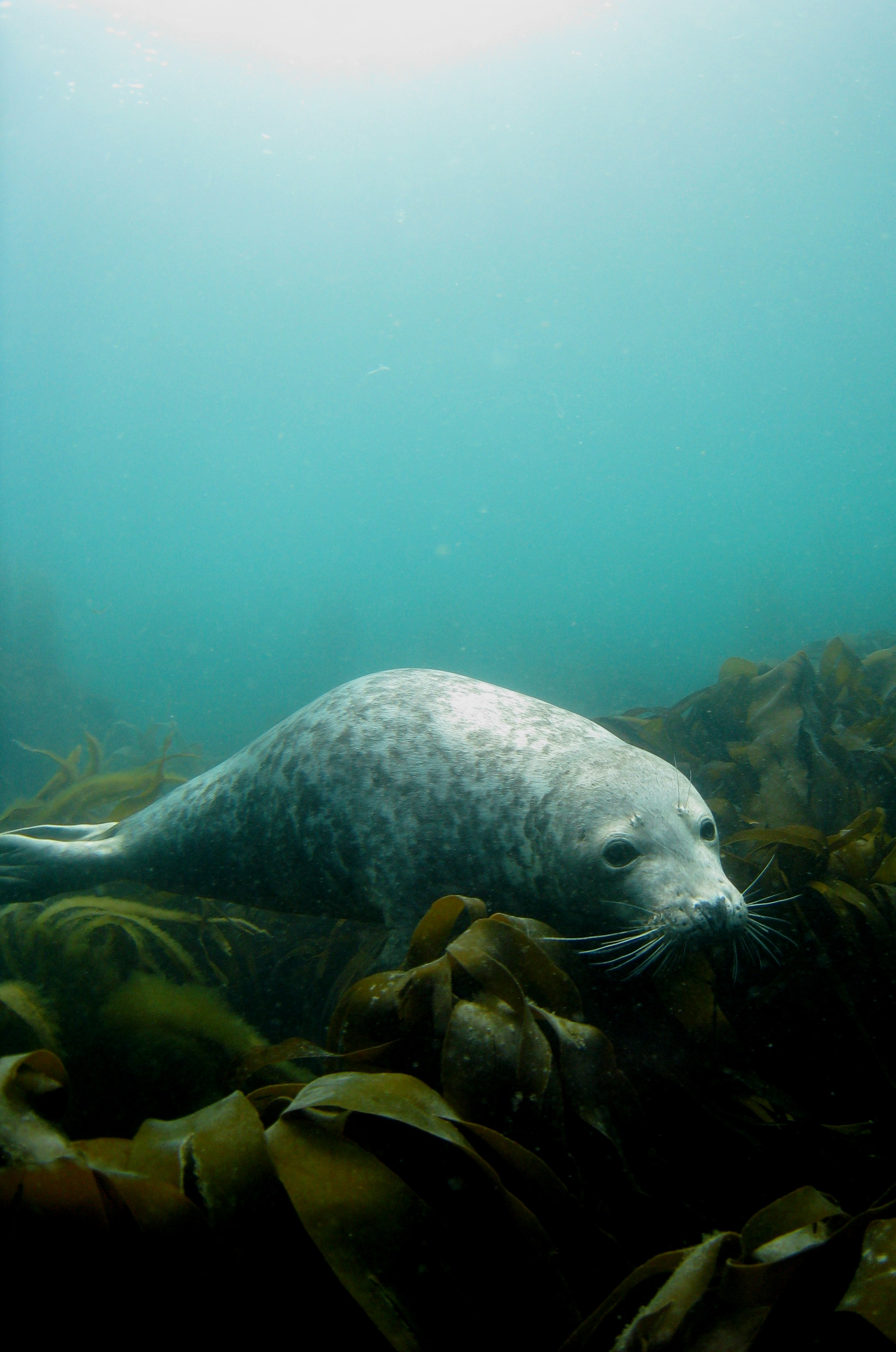 Lundy Grey Seal