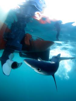 Blue Shark Prop