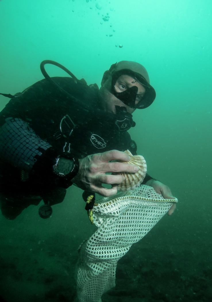 Diver caught scallops