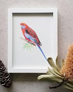rosella framed.jpeg