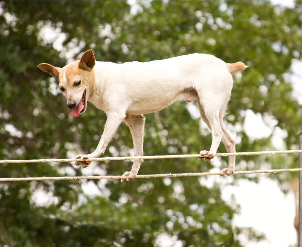 dog on tightrope