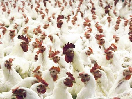 Ptačí chřipka (H5N1) - nebezpečný zabiják