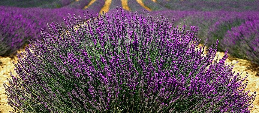 Lavender%2520Fields_edited_edited.jpg