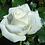 Thumbnail: Эфирное масло Роза, в фасовке 100 мл.