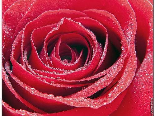 Эфирное масло Роза, 10 мл.