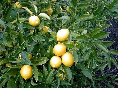Эфирное масло Лимон, 10 мл.