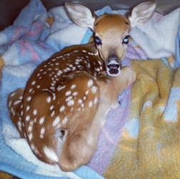 deer.jpg