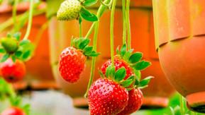 Cómo obtener las mejores frutillas orgánicas cultivadas en macetas!