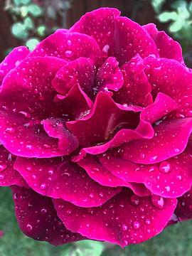 Paul Backyard Rose.jpg