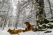Cows in a Snowy Forest