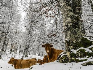 Qué tienen en común la barriga de un toro y el shiur del lulav