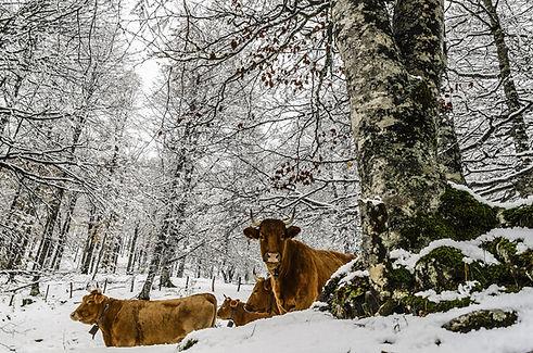 Las vacas en un bosque cubierto de nieve