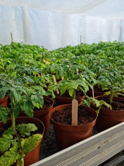 Tomatplantor