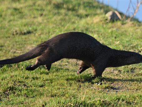 Eurasian Otter – Lutra lutra