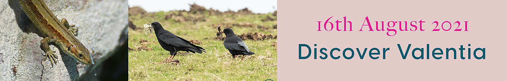 a small lizard sunbathing on a rock, and another image of 2 choughs, black birds with red beaks and legs on grass