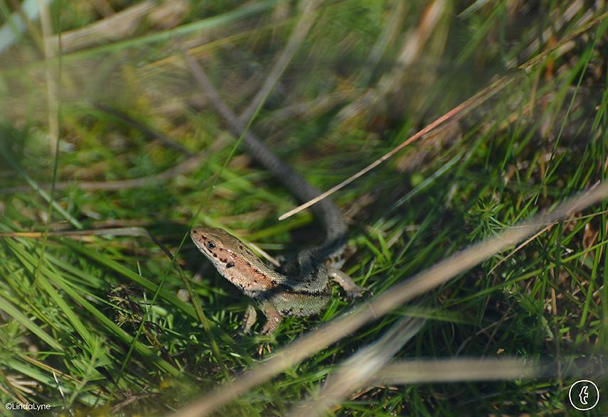 lizard-in-dune-grass-linda-lyne.png