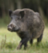 A fine male boar in a German forest.jpg