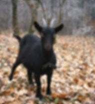 Black goat in a autumn forest.jpg