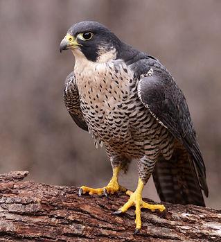 A Peregrine Falcon (Falco peregrinus) pe