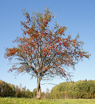 Single rowan tree.jpg