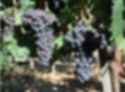 sangiovese, grappolo di uva sangiovese