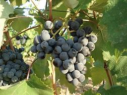 alicante, grappoli di uva alicante