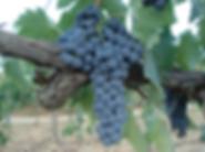Ciliegiolo, grappolo di uva ciliegiolo