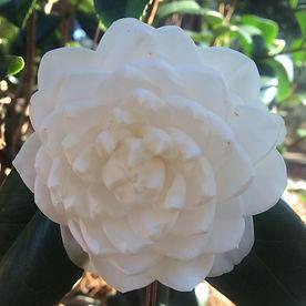 white camellia.jpg