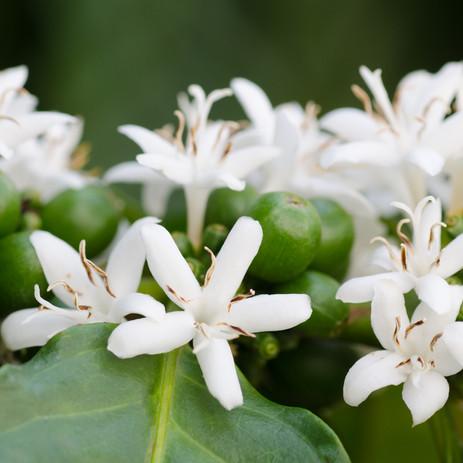 Coffee plant flowers