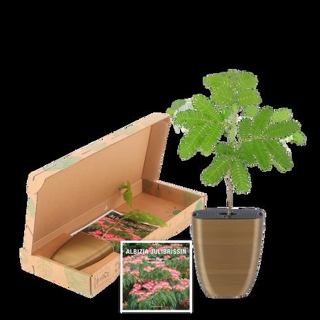 Albizia in letterbox pack