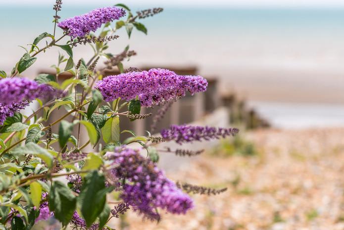 Butterfly bush near beach