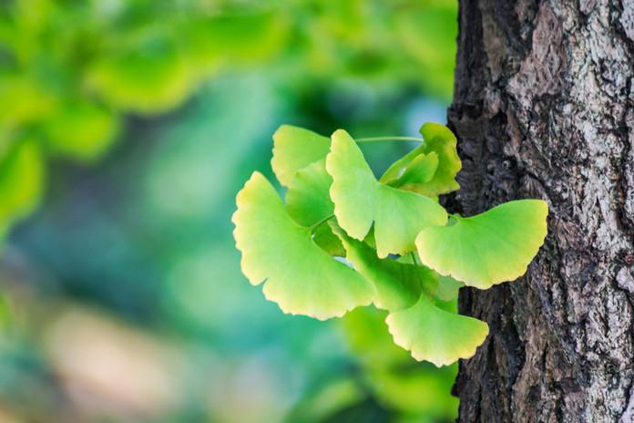 Ginkgo leaf beginning of autumn