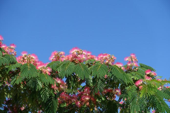 Albizia flowers against blue sky