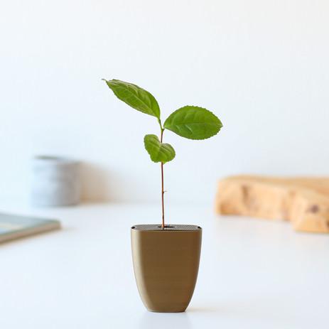 Tea plant in letterbox pot
