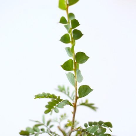 Acacia close-up